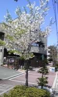 ミニ桜.jpg