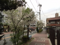 小桜.JPG