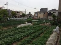 向いの畑.JPG
