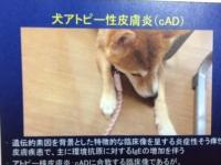 犬アトピー.JPG