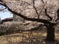 横桜.JPG