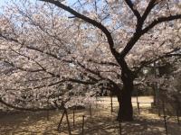 低い桜.JPG