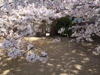 犬と桜.JPG