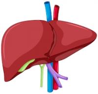 肝臓.png