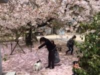 いぬと桜1.jpg