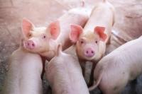 豚コレラ.jpg