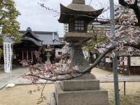 桜と本堂.jpg