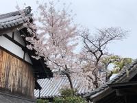 横の桜.jpg